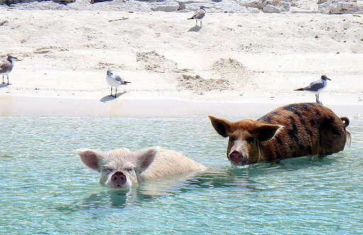 Pigs_and_gulls_on_the_beach