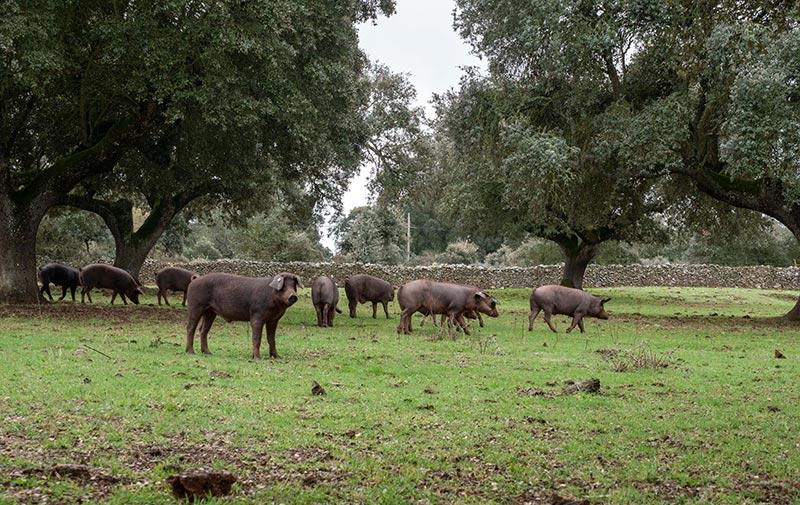 Cerdos sostenibilidad.