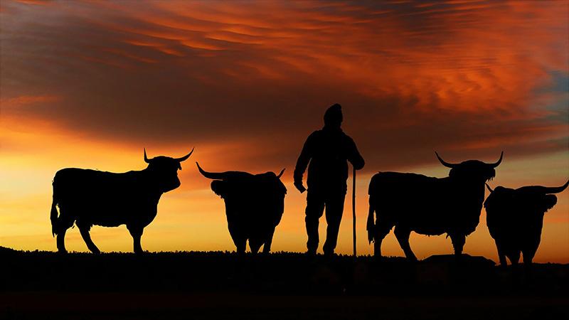 Vacas sostenibilidad.